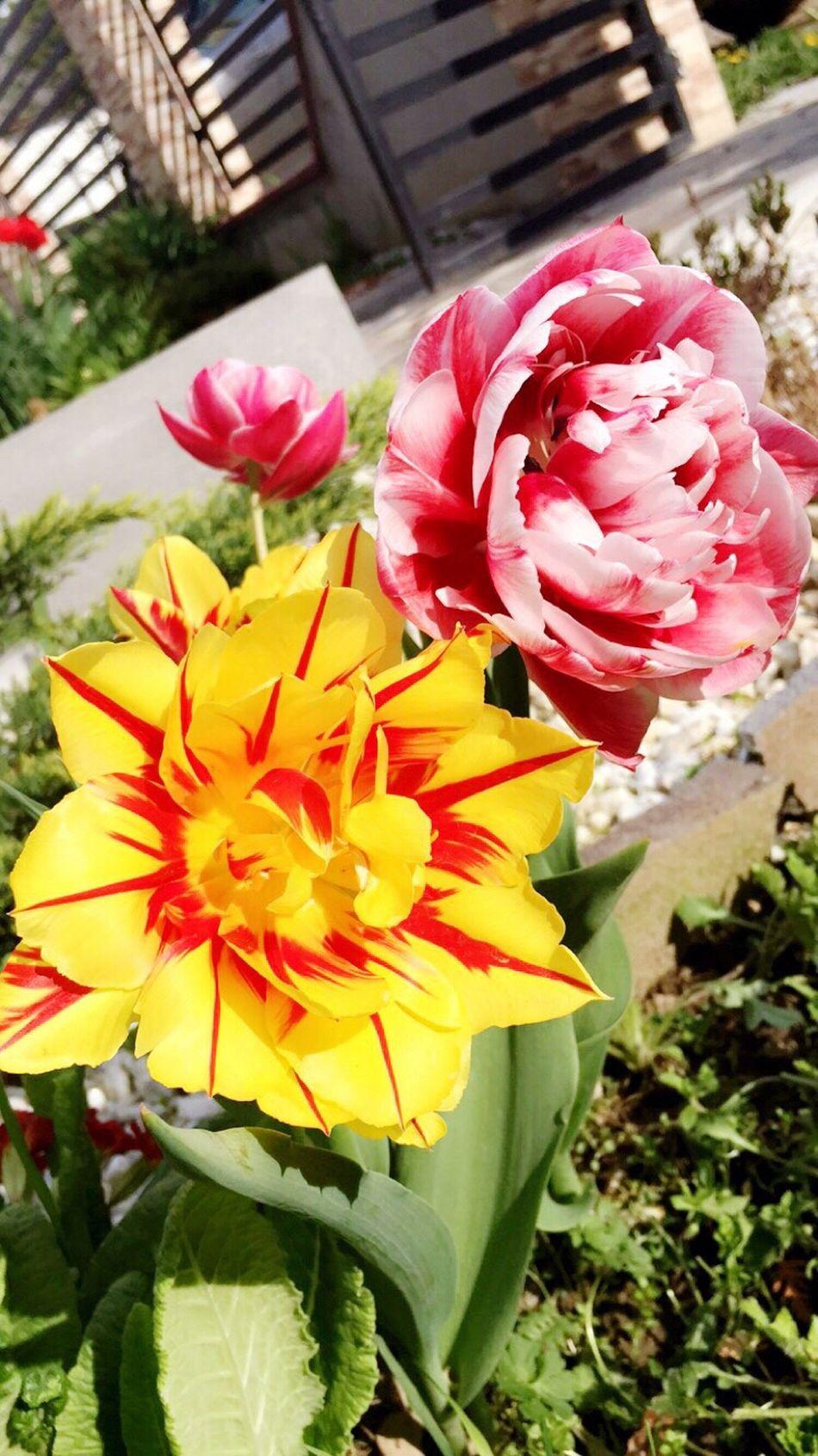Adinafrasinphotography Spring Spring Flowers Flowers OpenEdit Outdoors Photography Colors Colorful Beautiful Beautiful Nature 🌷💐💞 First Eyeem Photo