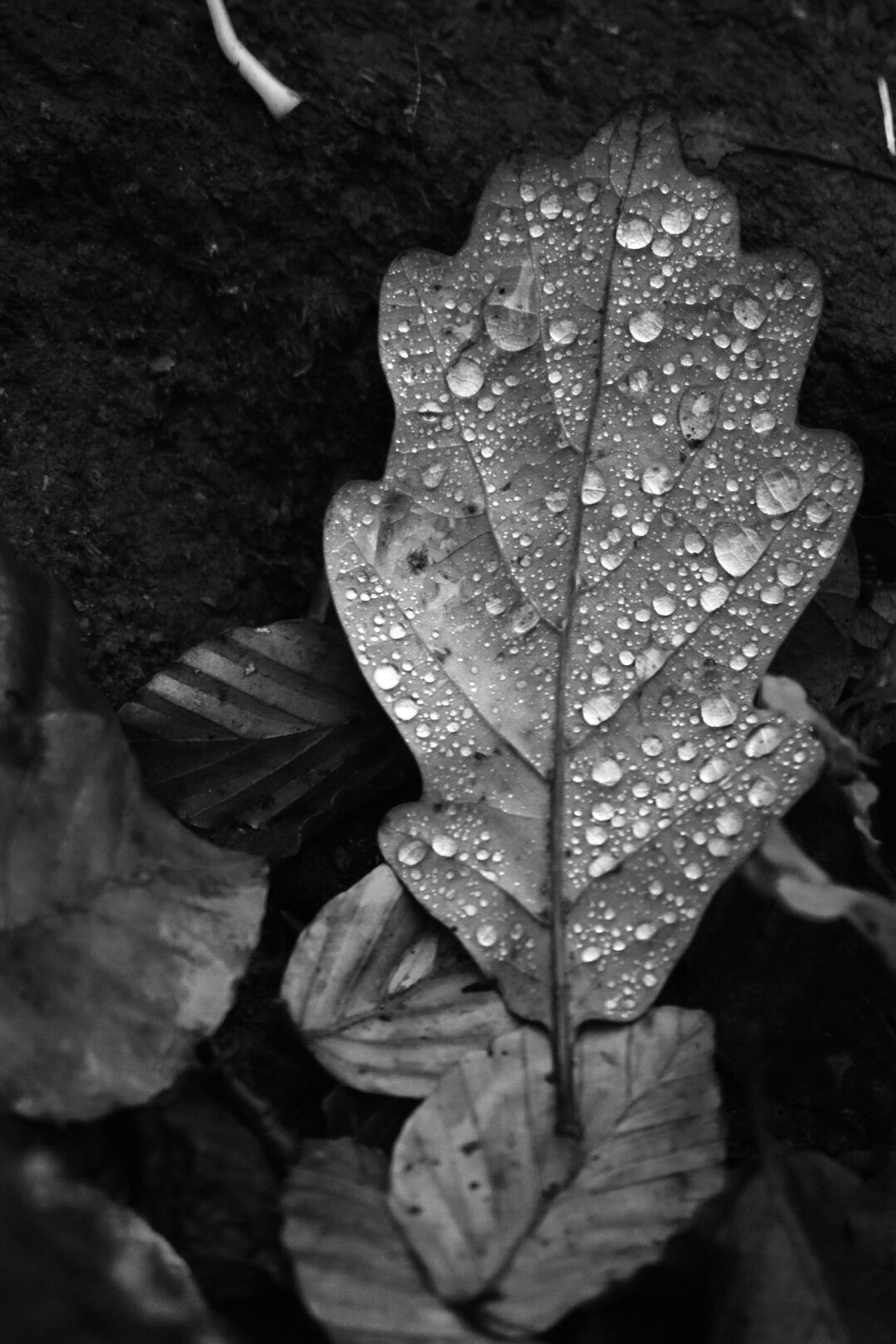 Nikonphotography Leaf Nature Wet Close-up Leaf Vein Drop Water Maple No People Fragility Rain Dew Outdoors Beauty In Nature Maple Leaf RainDrop Day Freshness Nikon