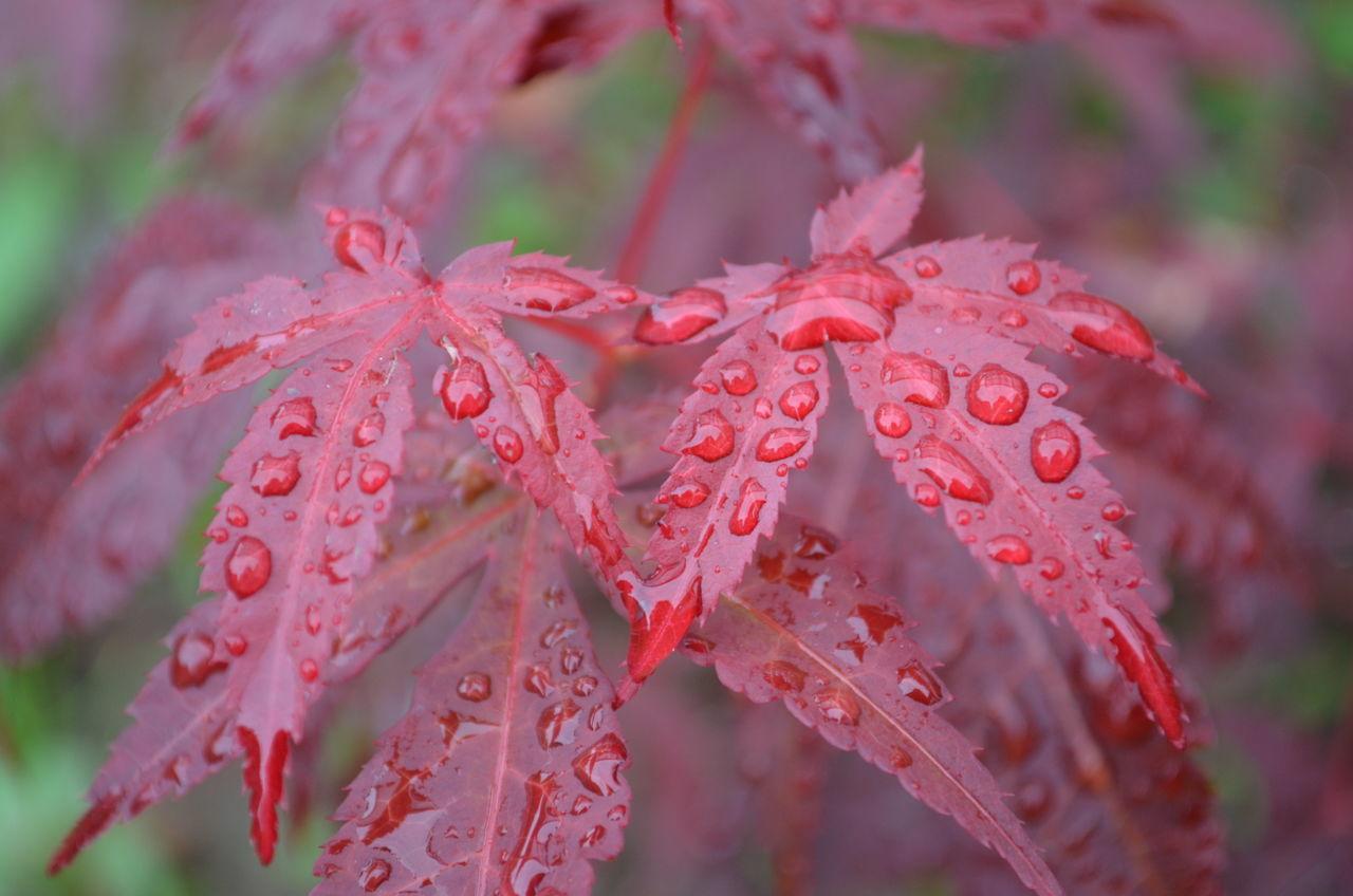 Japanischer Ahorn im Regen Botanik Botany Draußen EyeEm Nature's Diversities Focus On Foreground Japanese Maple Japanischer Ahorn Natur Nature No People Outdoors Pflanze  Plant RainDrop Red Regentropfen Rot