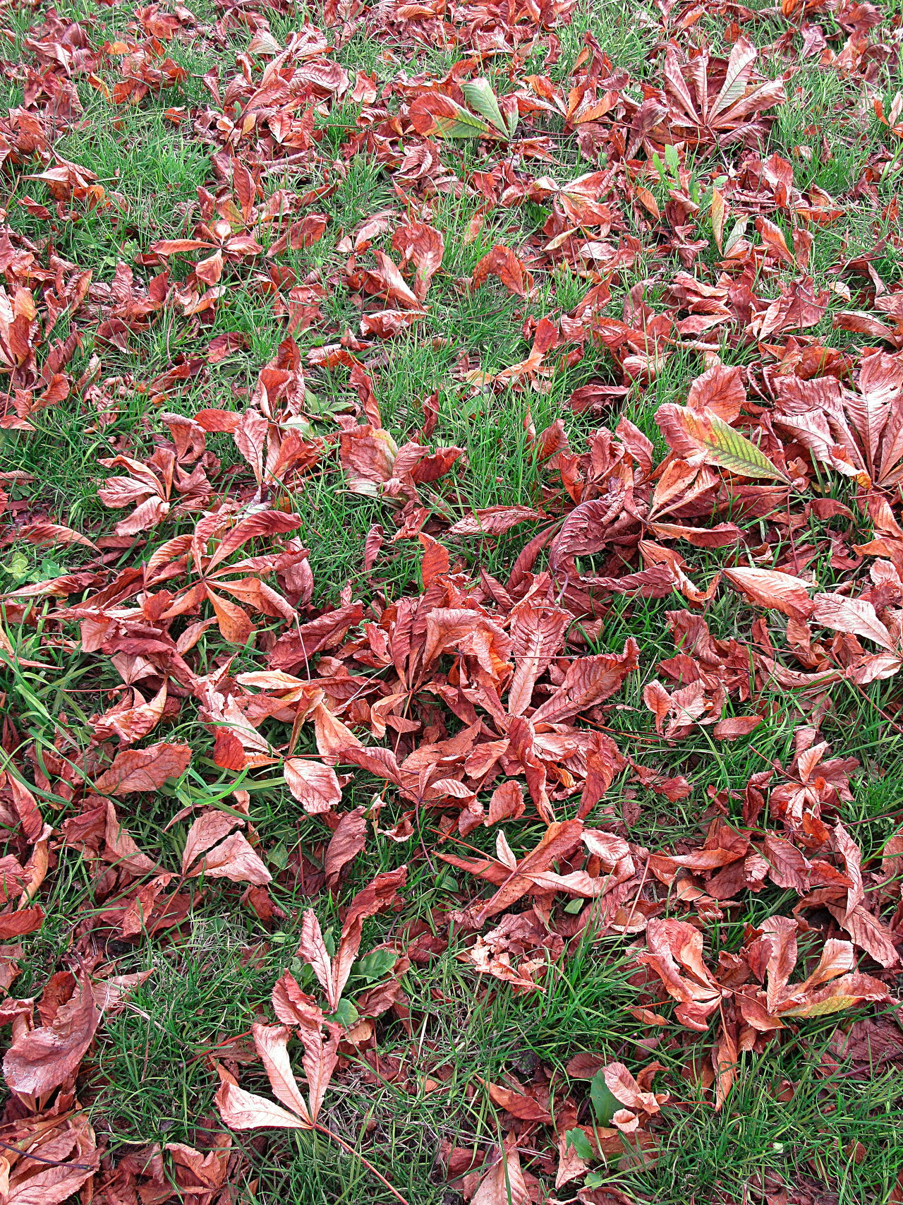 Dry brown leaves on green grass Autumn Backgrounds Beauty In Nature Brown Close-up Day Dry Dry Leaves Fall Freshness Full Frame Grass Green Growth Leaves Nature No People October Outdoors Red