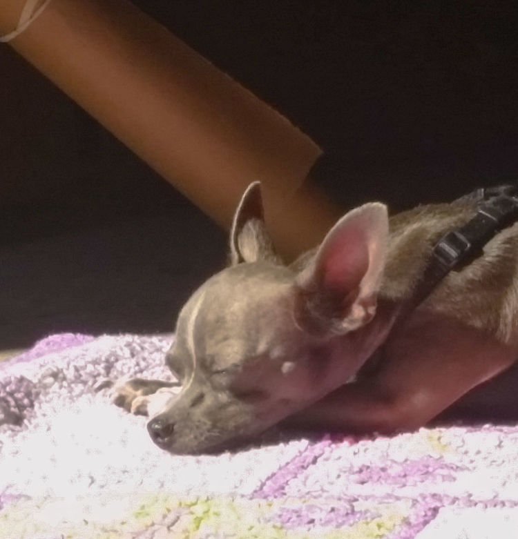 My Boy! Kilo Chihuahuas Of Eyeem My Dogs Are Cooler Than Your Kids Live Oak Animal Hospital Chihuahualife Dog Not A Care In The World No Flash Bald Rescued ❤ My Heart ❤ Spoiled Dog
