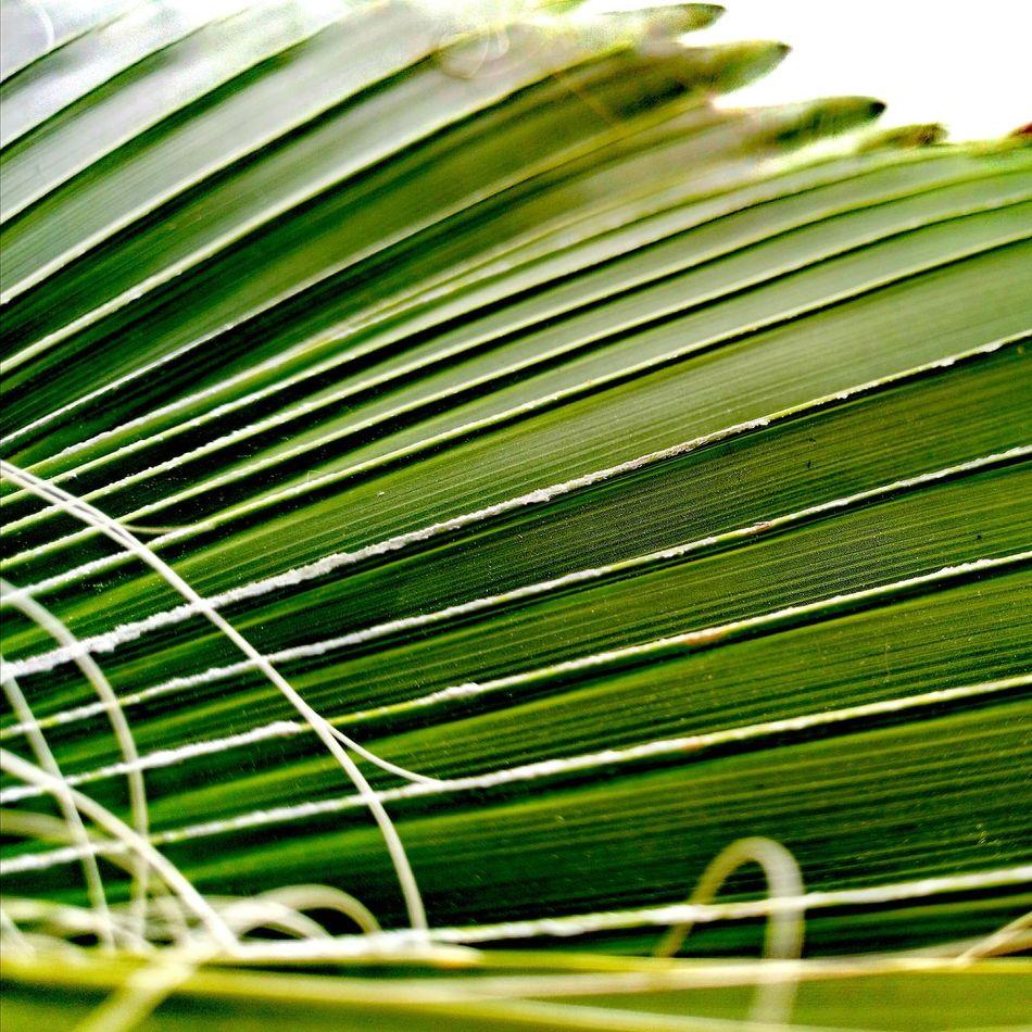 Необычный ракурс турецкой пальмы 🌴 Green Color Nature No People Beauty In Nature Freshness Day Plant Turkey Palm Tree Growth Leaf Close-up Frond Outdoors Palm Trees Türkiye Turkey💕 First Eyeem Photo