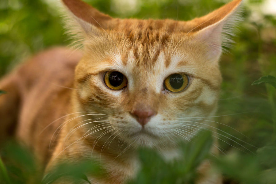 Green Color M42 M42 Mount Wildlife & Nature Wildlife Photography Animal Themes Cat Cat Eyes Cat Lovers Cats Cat♡ Close Up Close-up Closeup Day Domestic Animals Domestic Cat Feline Helios 44-2 Helios 44-2 58mm F2 Macro Mammal No People One Animal Wildlife