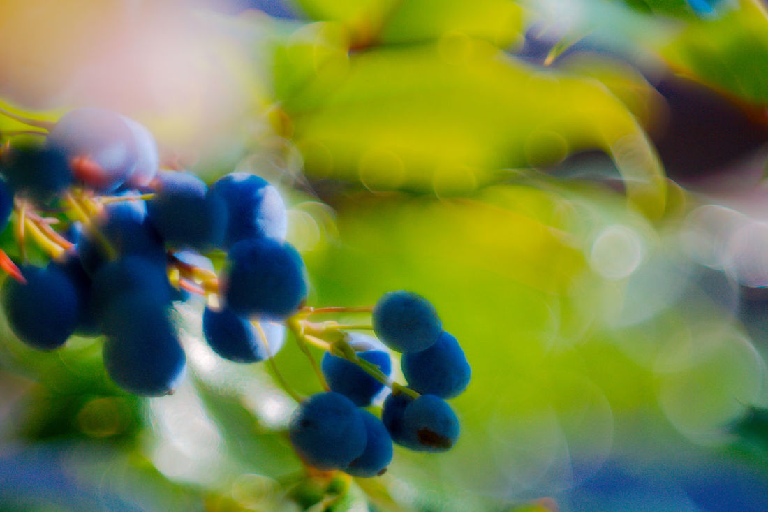 Blaue Vogelbeere - Prunus spinosa - Schlehdorn Art Is Everywhere Beauty In Nature Blue Bokeh Close-up Day Fragility Freshness Growth Nature No People Outdoors Selektiver Fokus Unscharfer Hintergrund