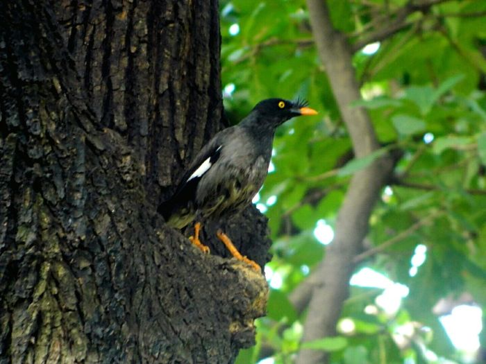 Acridotheres tristis. Common Name: Common Mynah. These birds are able to Mimic human voices if trained. The Birds Series Bird Common Mynah Bird Watching Wildlife Wildlife Photography Wildlife & Nature Birds Of EyeEm  Nature