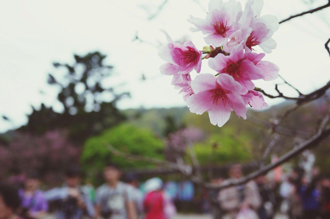 櫻花綻放得燦爛 Sakura Flower Yang Ming Shan