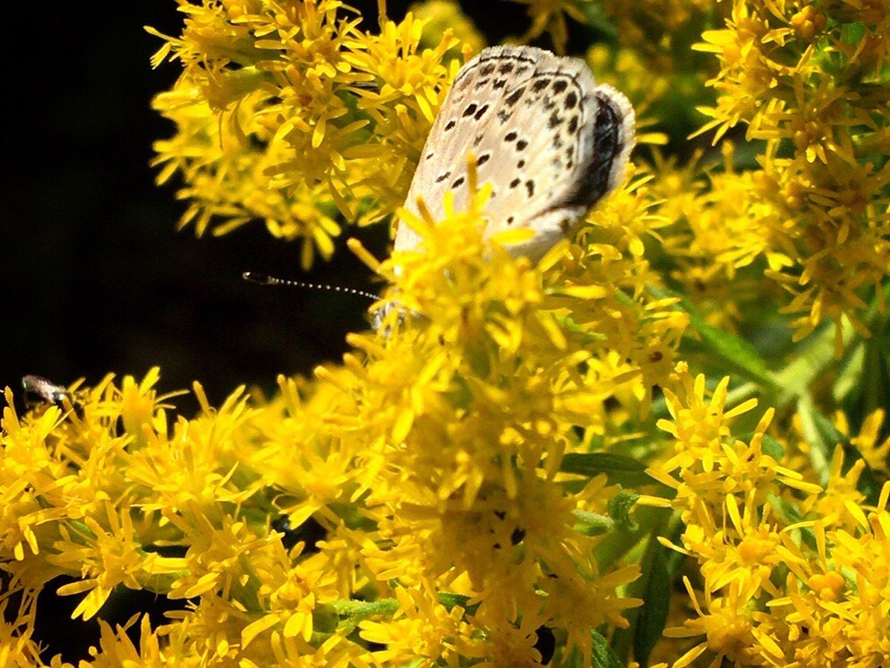 Yellow Flower One Animal Nature Fragility Beauty In Nature Petal Flower Head Growth Animal Themes Plant Blooming Insect Freshness No People Outdoors Day Close-up Butterfly Autumn Sillouette EyeEm Nature Lover 😊✨✨✨ Yellow World
