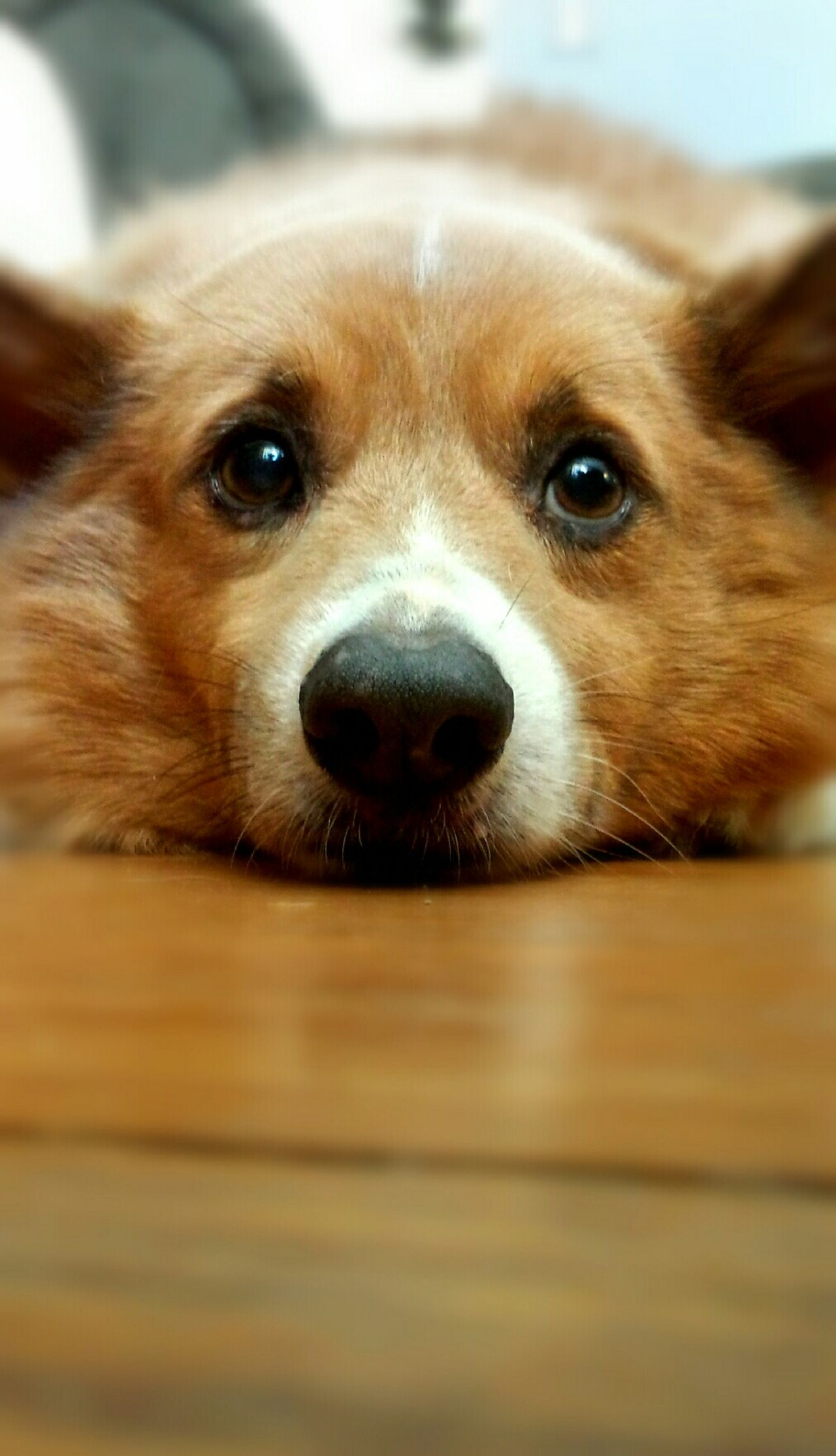 A thoughtful pet Relaxing Dog Corgi Welsh Corgi Laying Down Facial Expressions Family Pet Pet Photography  Furry Friends First Eyeem Photo