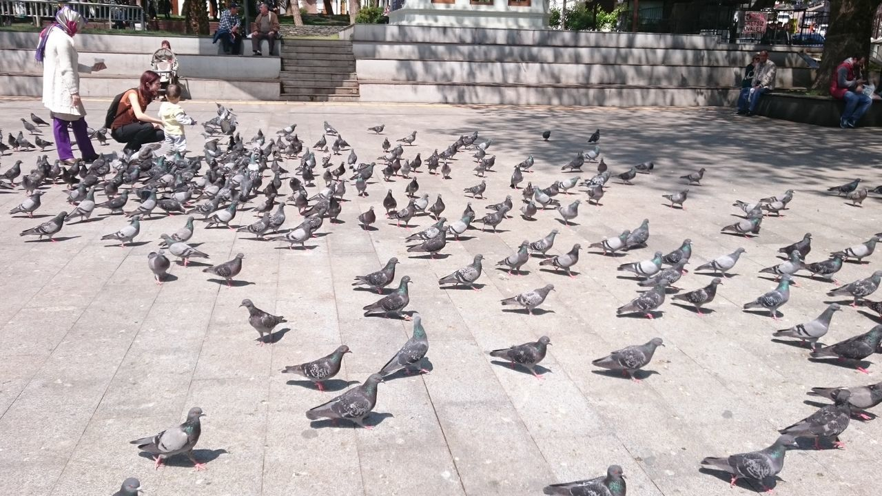 bird, large group of animals, animal themes, animals in the wild, animal wildlife, flock of birds, day, outdoors, high angle view, large group of people, perching, people