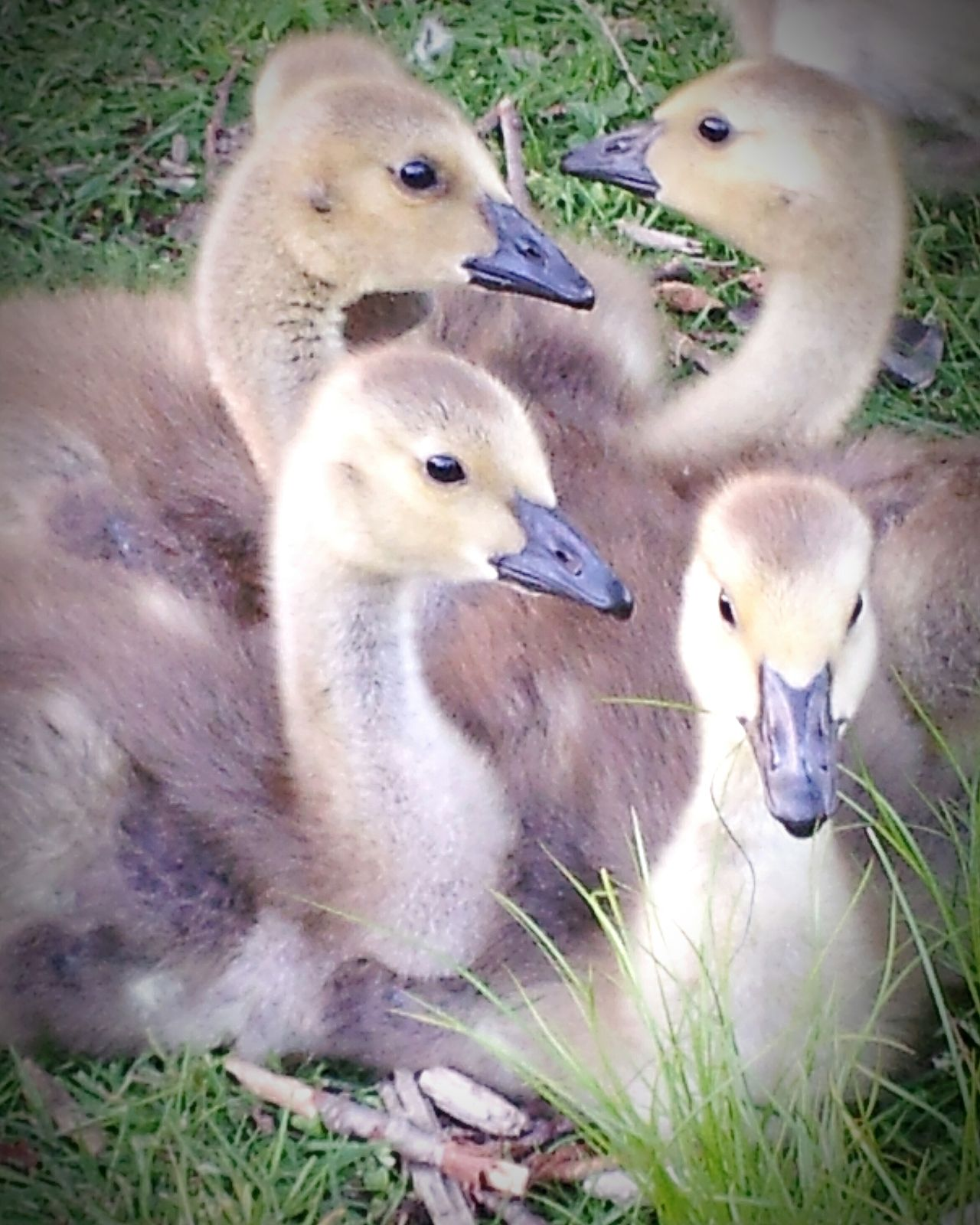 Showcase July Goslings Babygeese Como Lake Nature Photography Nature Wildlife Photography Wildlife Birds Relaxing Photography Photooftheday Photoshoot Yellow Color Cuteness Cutenessoverload Cute♡ Gosling Brood Gosling, Canada Goose, Resting, Park, Grass Geese Photography Geese In Nature
