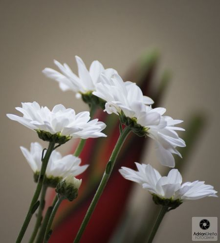 Flower Fragility Petal Flower Head White Color Plant Close-up No People Nature Beauty In Nature Growth Day Freshness Outdoors Like4like Nature_collection Nature Photography Beautiful Adrianureña Photography Art Beauty In Nature Nature Plant Perspective EyeEmNewHere