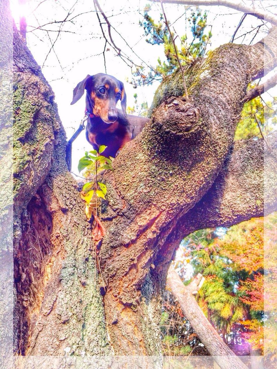 Dachshund Dog Dog Walking Japan