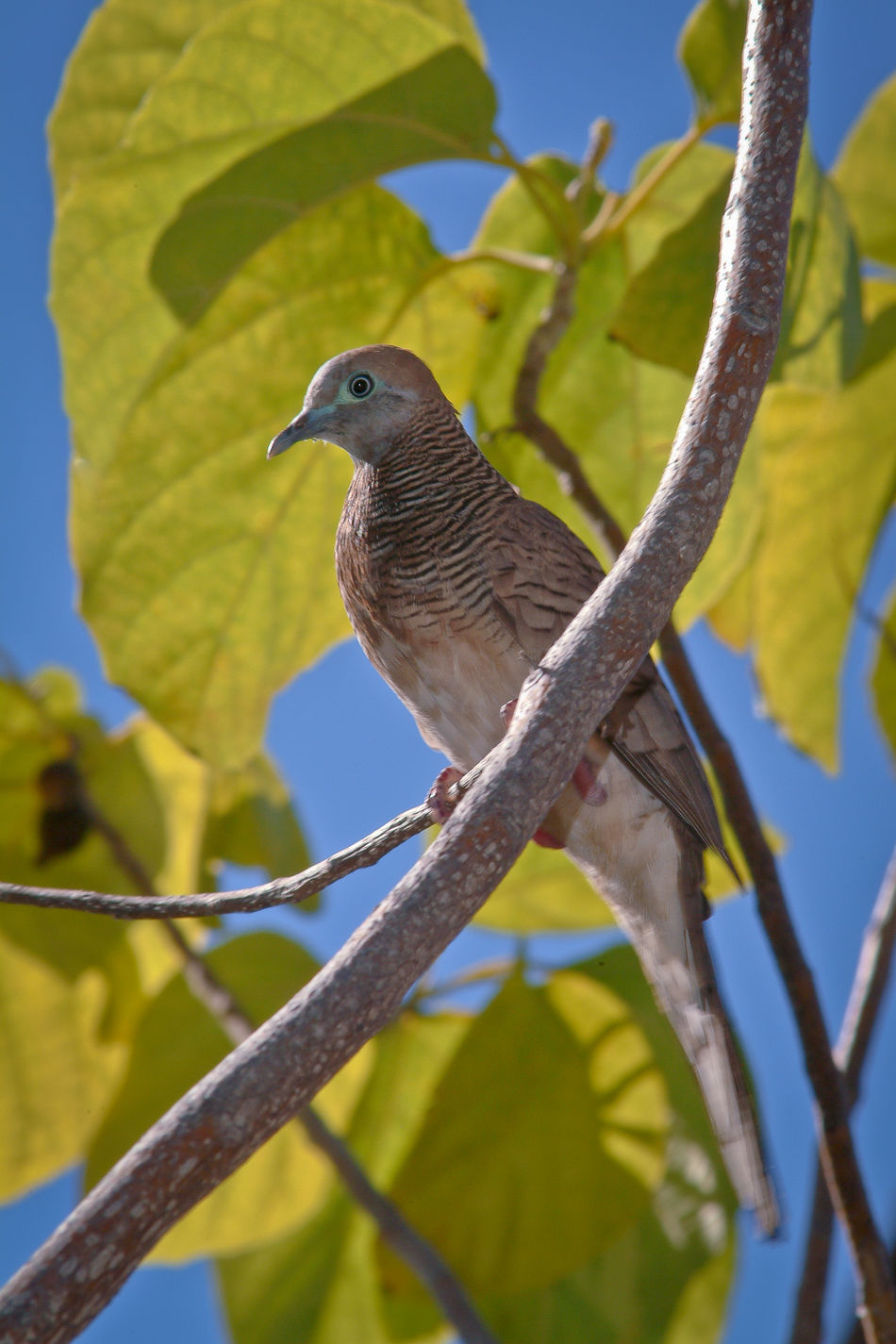A Zebra Dove perches on a tree branch on Maui (Hawaii, US). Zebra Doves are not native to Hawaii, having reportedly been introduced there in 1922 from Malaysia or possibly elsewhere. Animal Themes Avian Beauty In Nature Bird Blue Branch Geopelia Striata Green Color Hawaii Low Angle View Maui Maui Hawaii Mauiphotography Merbok No People Outdoors Perching Perkutut Selective Focus Tree Tukmo, Wildlife Zebra Dove