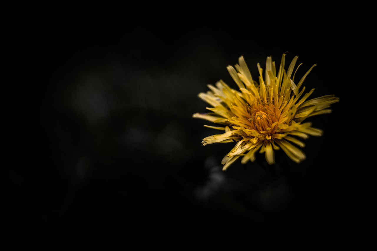 Beauty In Nature Black Background Blooming Close-up Dandelion Day Flower Flower Head Fragility Freshness Growth Nature No People Outdoors Petal Plant Yellow