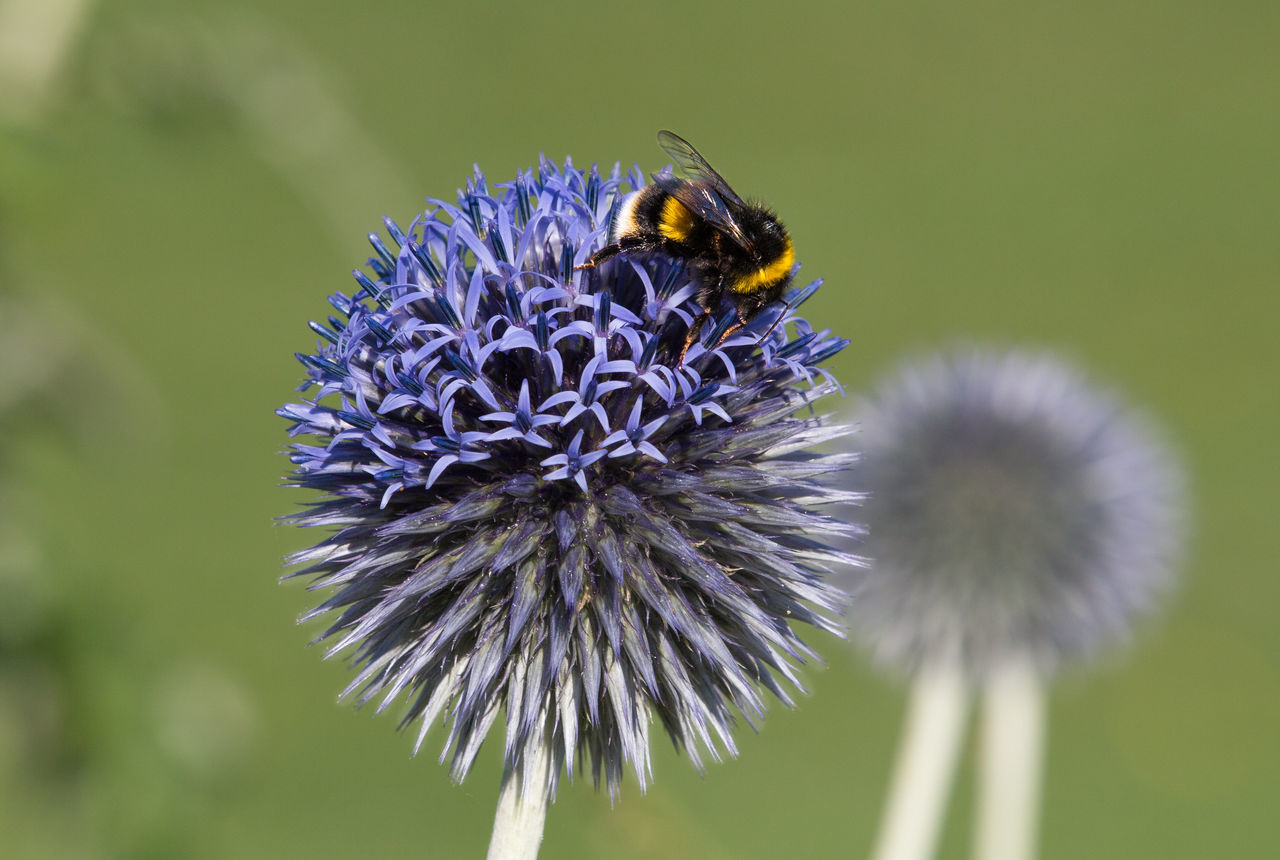 A bumble bee collecting nectar and pollen from an Echinops (Blue globe) Blooming Blue Globe Bumble Bee Collecting Pollen Bumblebee Close-up Echinops Flower Flower Head Nature Pollination Purple Bumble Bee Normal Lens