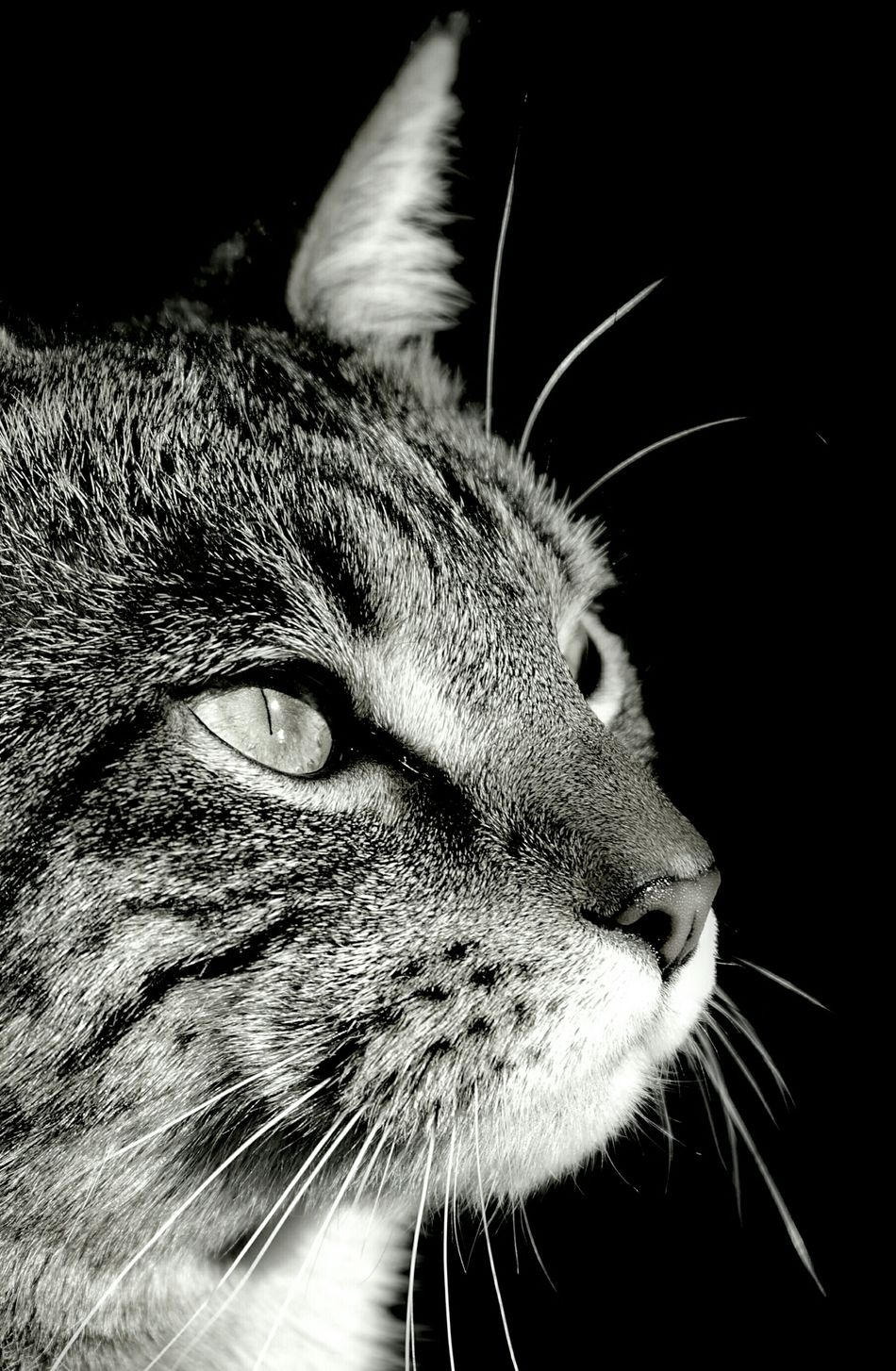 Kitty kat Close up. Cool cat happy to have his photo taken. Cats Meow Feline Chicopee Ma Capture The Moment Licker Happy Halloween Blackandwhite Monochrome Closeup EyeEm Best Shots - Black + White Shots Epic Amazing Pussycat Pusspuss Pussnboots Pussycatmowwwwww