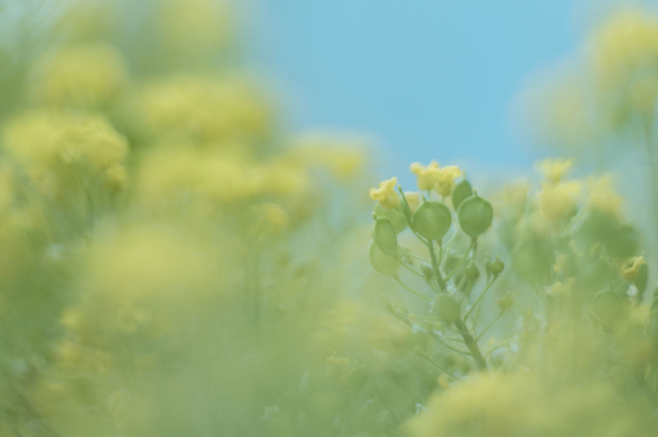 Beauty In Nature Blooming Close-up Day Field Flower Flower Head Fragility Freshness Green Color Growth Nature No People Outdoors Plant Selective Focus Sky Springtime Yellow