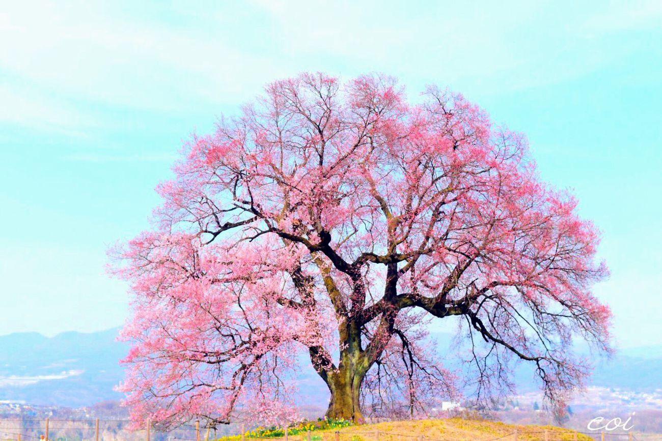 畑の真ん中の小高い丘に、美しいエドヒガン桜。樹齢300年の美しい桜。今年の桜のは旅はここから…わに塚の桜 わにずかの桜 Cherryblossom Spring Japan 山梨県 YAMANASI Emeyebestshot My Favorite  EyeEm Best Shots - Nature