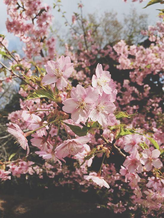 Sakura 2015 Early Bloom Sakura Season Japan Japanese  Flowers Cherry Blossoms