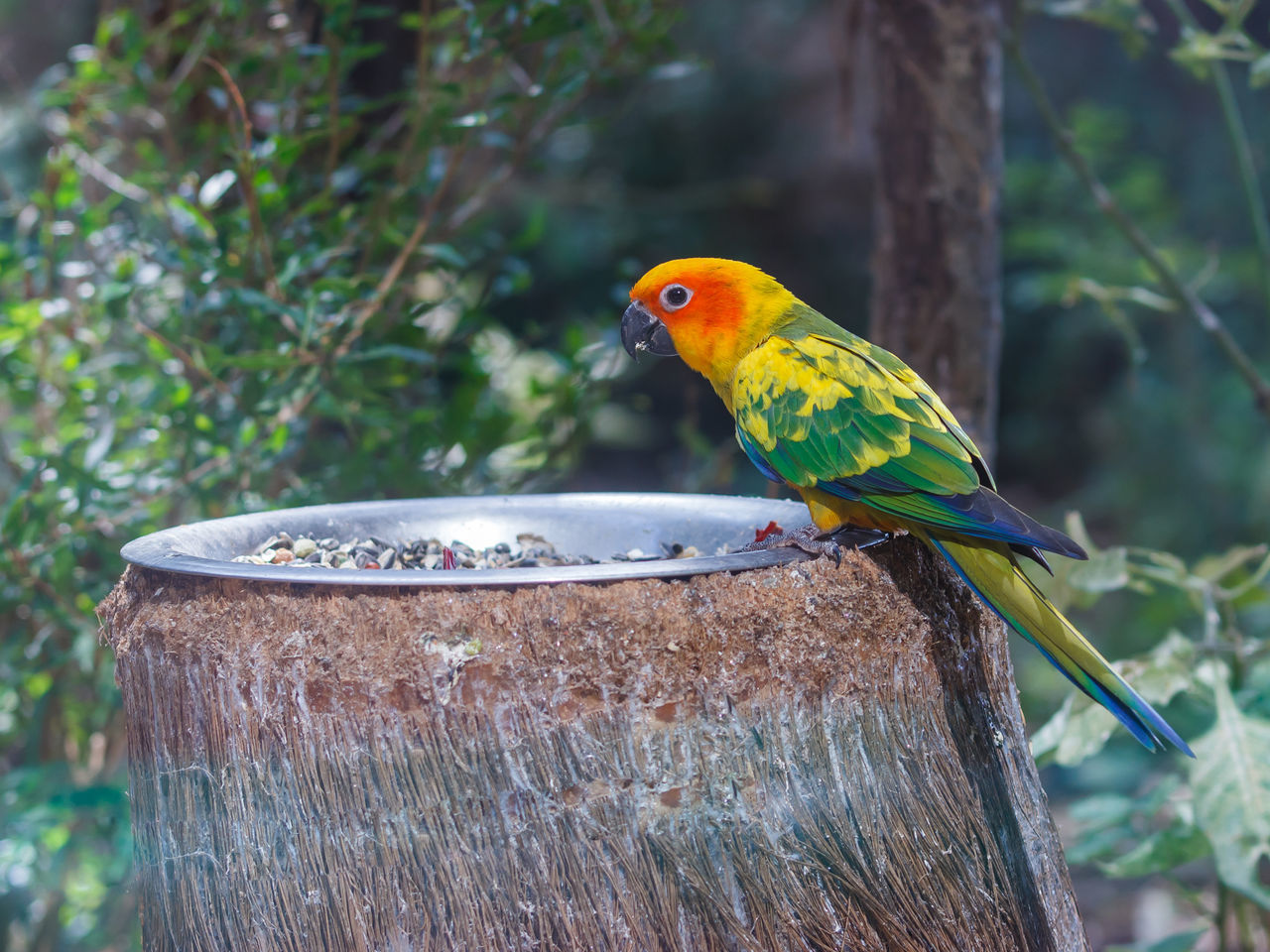 Sun Conure - Aratinga Solistalis - is sits on a feeding trough with food Animal Themes Animals In The Wild Aratinga Background Beak Beak Beautiful Beauty In Nature Bird Branch Colorful Conure Exotic Feather  Nature No People One Animal Parrot Pet Sits Solistalis Sun Tree Wildlife Zoology