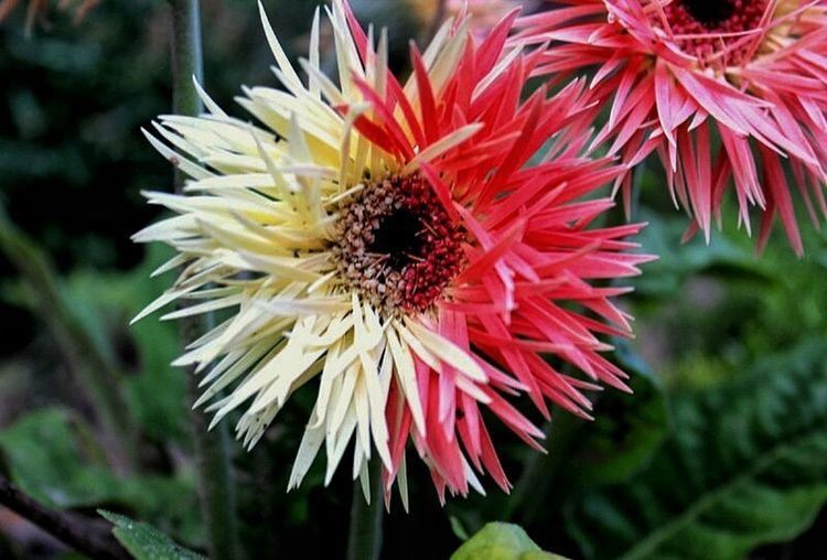 Cross pollination of zinnias in my garden. Cross Pollination Flowers Zinnias, Flowers Wonderwork Of Bees God Is Beautiful My Garden Showcase July