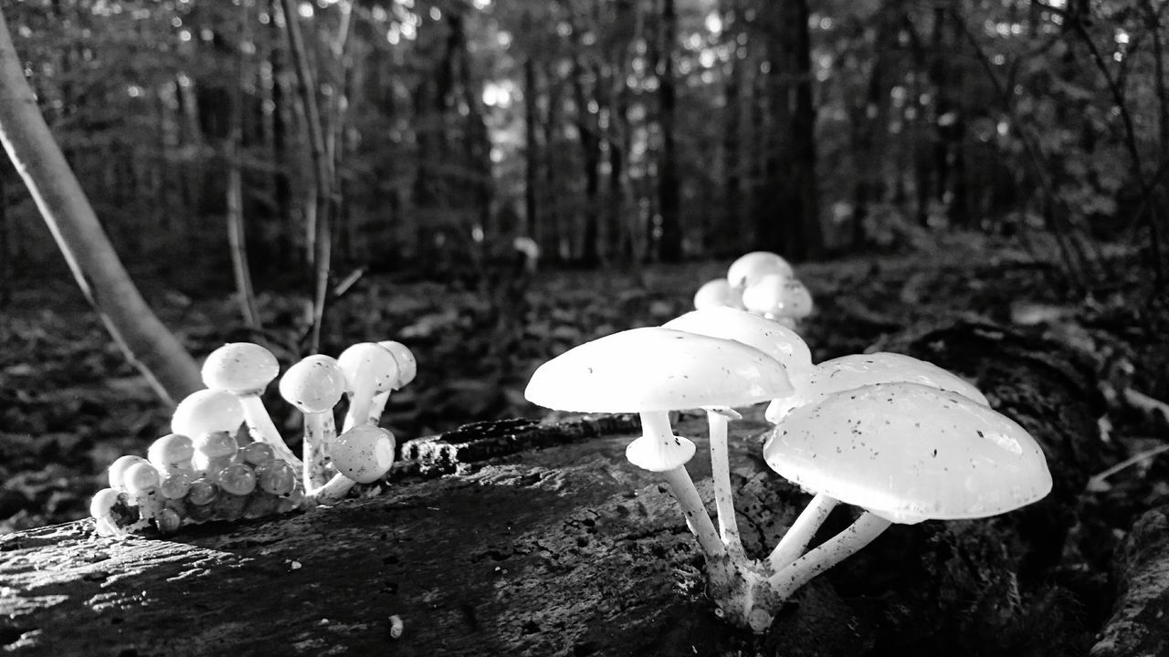 Mushroom Fungus Nature Toadstool Forest Growth Edible Mushroom Outdoors Beauty In Nature Day Tree Fly Agaric Mushroom No People Close-up Fragility Freshness