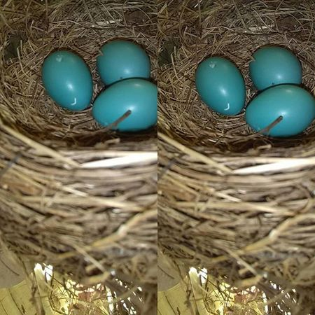 Day 5, not much change since day 4 Robineggs Robin Naturephotography Nature Beauty Lifephotography Life Eggs Babybirds Babies Photography