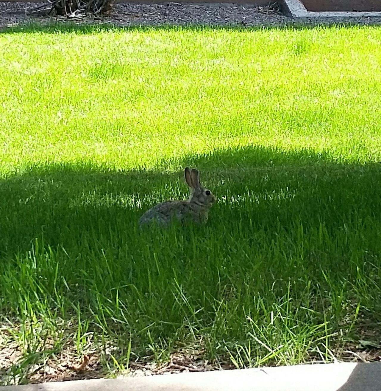 Fat Bunny! Naturelovers Inmybackyard Bunnies Bunny Ears  Bunny Love Bunny Wabbit Bunny Watching Rabbit
