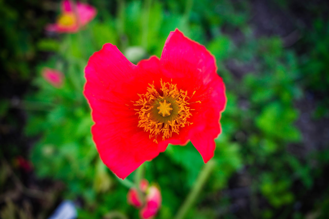 pretty poppy Beauty In Nature Blooming Close-up Day Flower Flower Head Fragility Freshness Growth Nature No People Outdoors Petal Plant Poppy Red