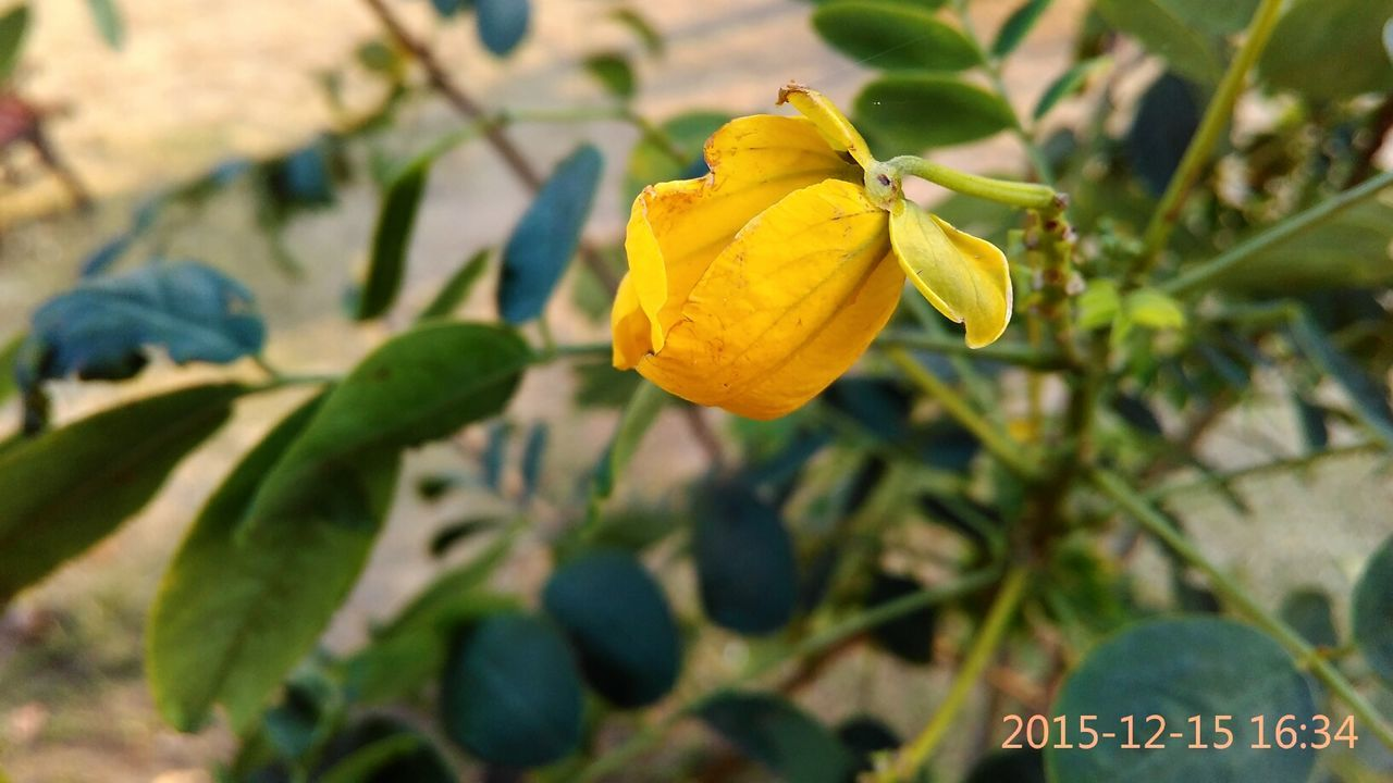 yellow, growth, nature, focus on foreground, plant, leaf, freshness, close-up, day, outdoors, fruit, flower, no people, beauty in nature, fragility, tree, flower head