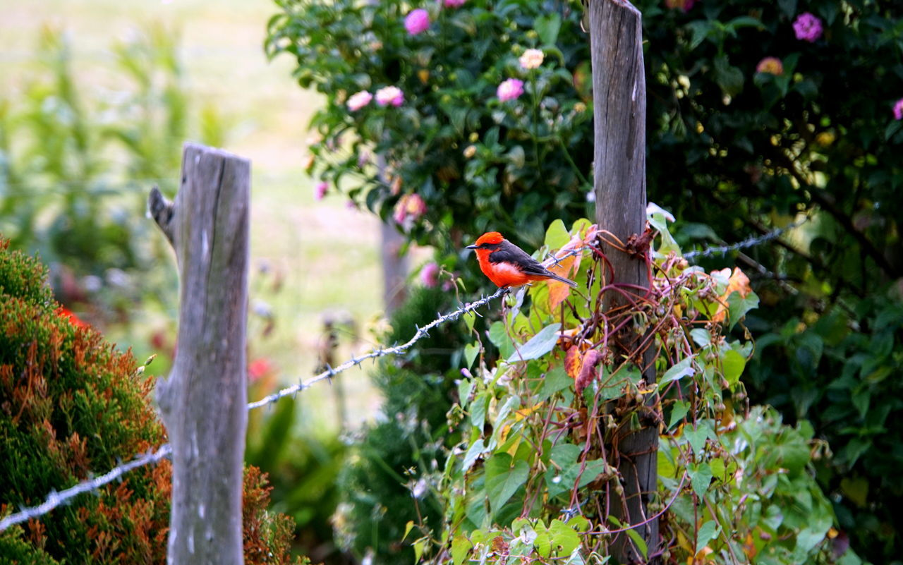 Vermilion Flycatcher perches often while he hunts for insects to eat. Red Bird Vermilion Flycatcher Quiet Colorful Flowers Garden Nature Cheerful Animal Serene Redbird Bright Paradise Utopia Peaceful Sublime Birding Brilliant Fence Contrast