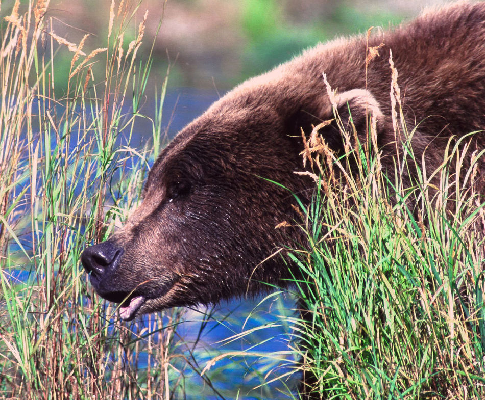 the bears of Brooks Falls and Katmai National Park Animal Head  Animal Themes Animals In The Wild Bear Beauty In Nature Brooks Falls Close-up Grass Grizzly Lake Looking Away Mammal Nature No People One Animal Outdoors Side View Water Wildlife