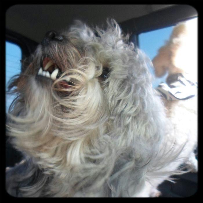 Mascota Mi Perro Doggy Yorkypoo El Famoso Lucho!