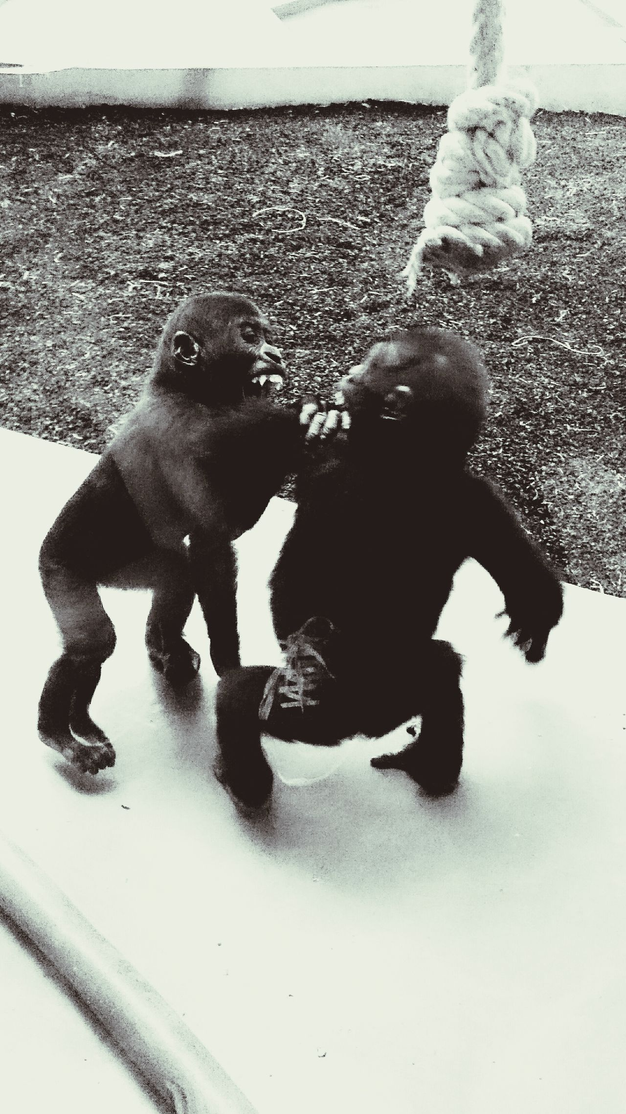 Gorrilaz Playing Loughing Friends animal Family Zoo They Have Fun stuttgart