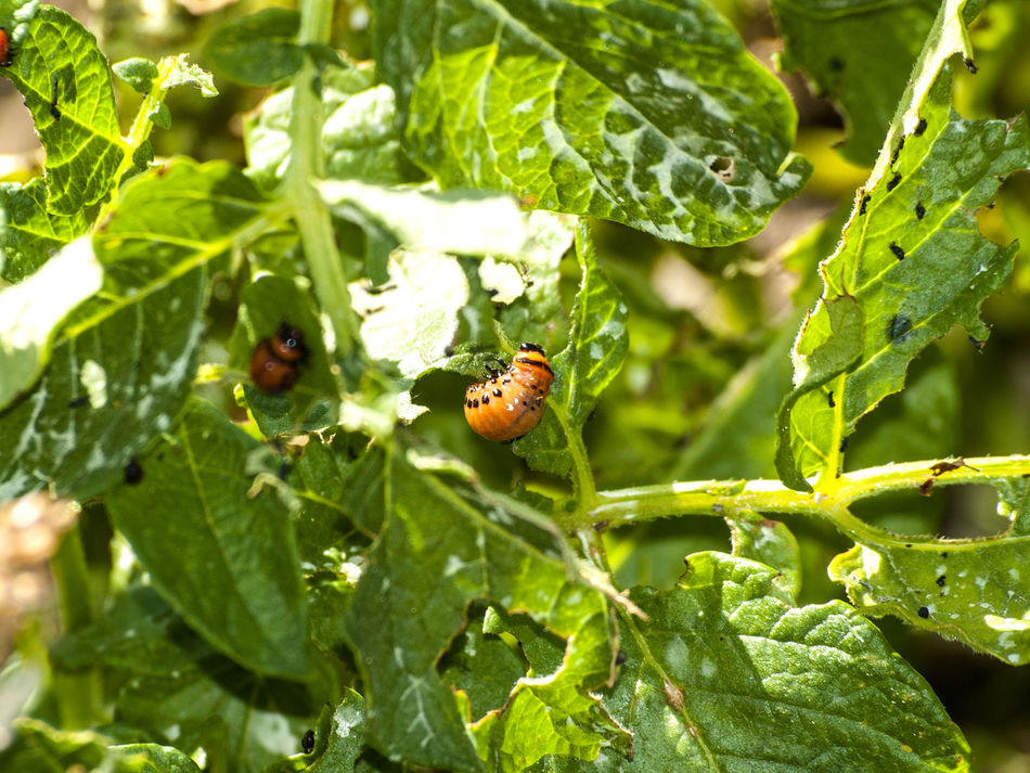 Agriculture Animal Themes Animal Wildlife Animals In The Wild Close-up Colorado Potato Beetles Damage Damaged Dangerous Animals Environment Green Color Insect Insects  Larva  Leaf Leptinotarsa Decemlineata Nature No People One Animal Outdoors Pest Plague Plant Potato Potato Beetle