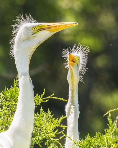 Animal Themes Animal Wildlife Animals In The Wild Bird Close-up Closeup Egret Day Egret Egret Babies Funny Great Egret Nature No People One Animal Outdoors