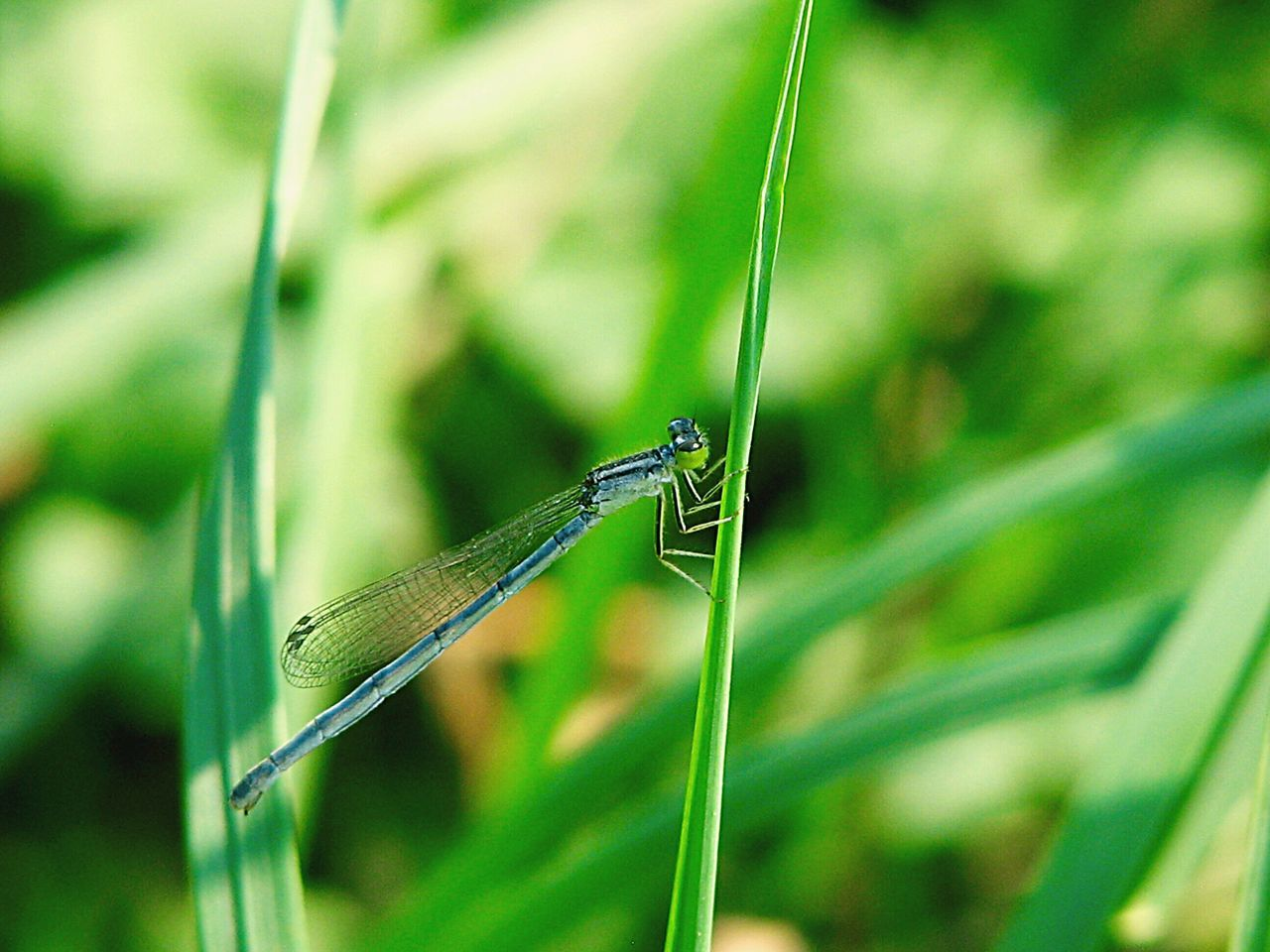 Dragonfly on a waterweed.