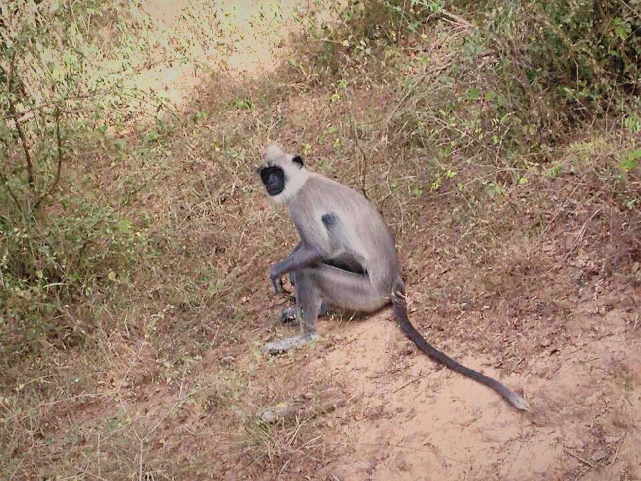 🐵🙈🙉🐒 Monkey Monkeylove Sri Lanka Yala Yalanationalpark Unawatuna