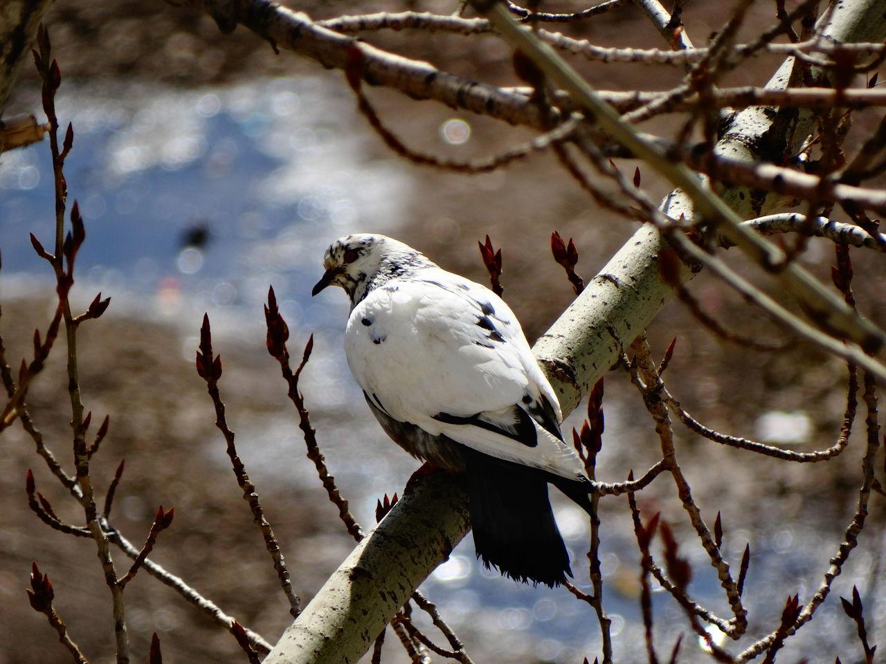 Beautiful stock photos of friedenstaube, Animal Themes, Bird, Branch, Close-Up