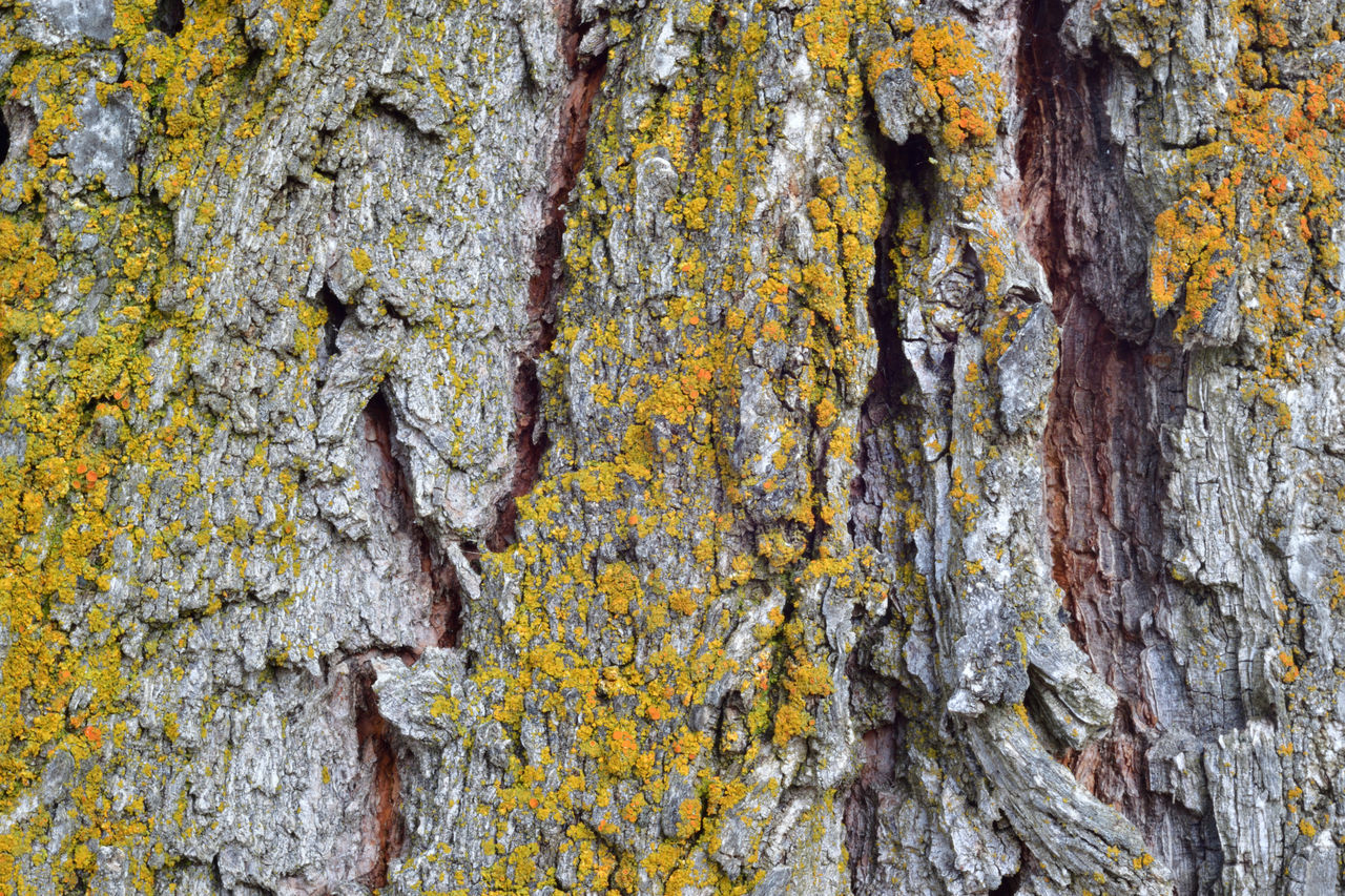 Elm tree bark with gold moss. Bark Close-up Full Frame Fungus Growth Moss Nature No People Outdoors Rough Textured  Tree Tree Trunk Wood - Material Yellow