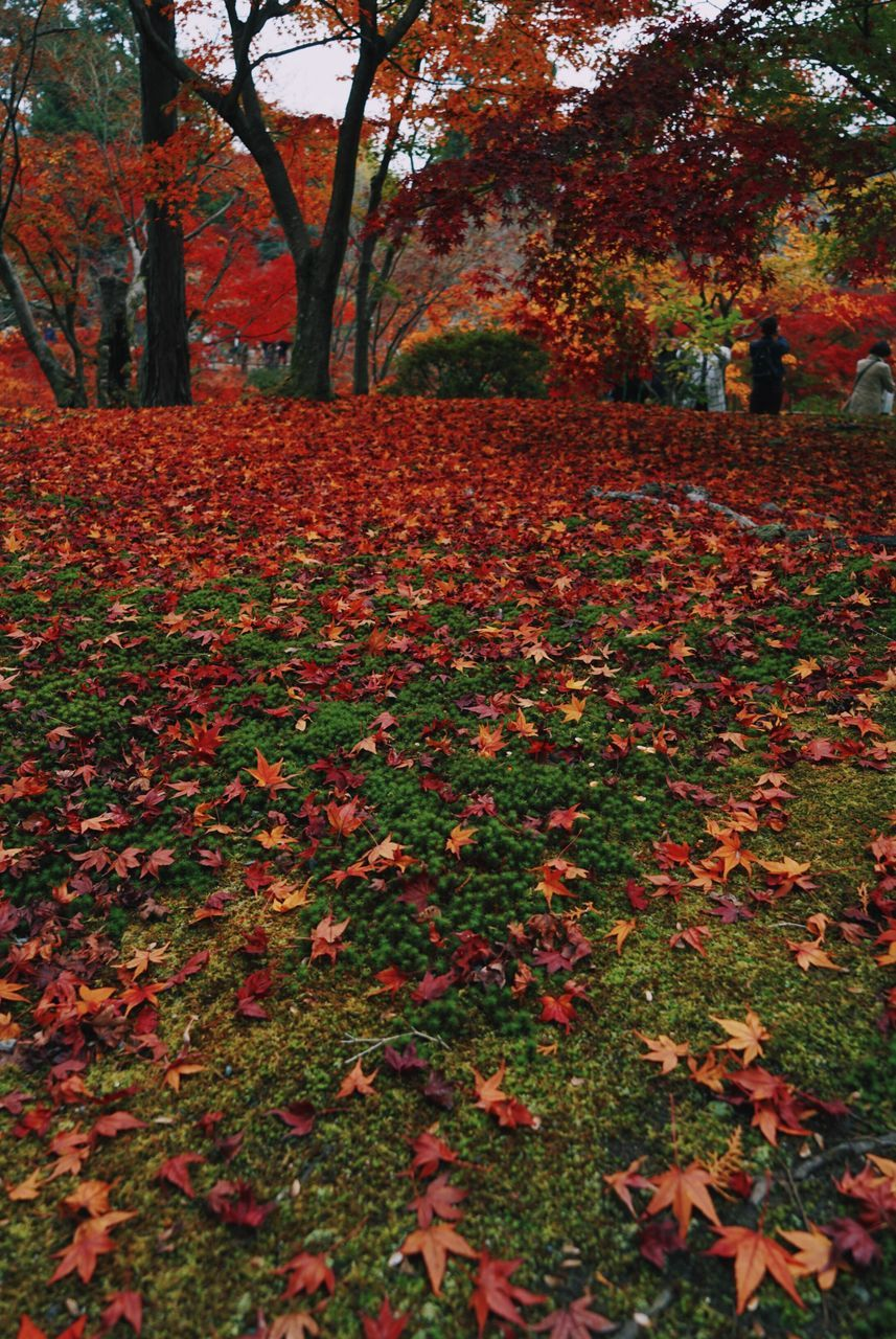 autumn, change, leaf, nature, tree, tranquility, beauty in nature, scenics, fallen, growth, outdoors, landscape, maple, field, red, tranquil scene, day, no people, park - man made space, grass, maple leaf, branch, close-up