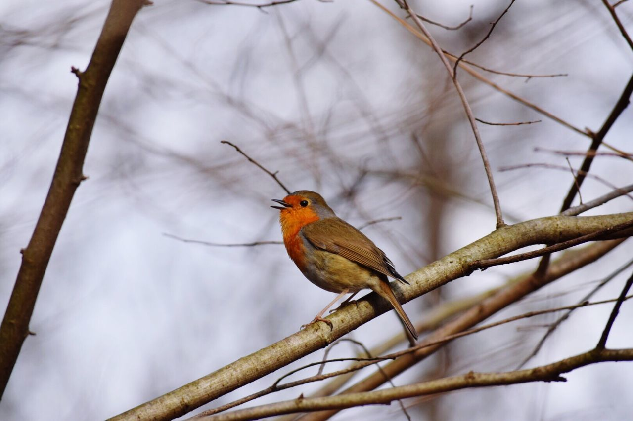 A robin sitting on a branch. Animals In The Wild Bird One Animal Animal Themes Animal Wildlife Perching Nature Low Angle View No People Branch Day Outdoors Beauty In Nature Close-up Robin Redbreast Branches Winter Tree Focus On Foreground