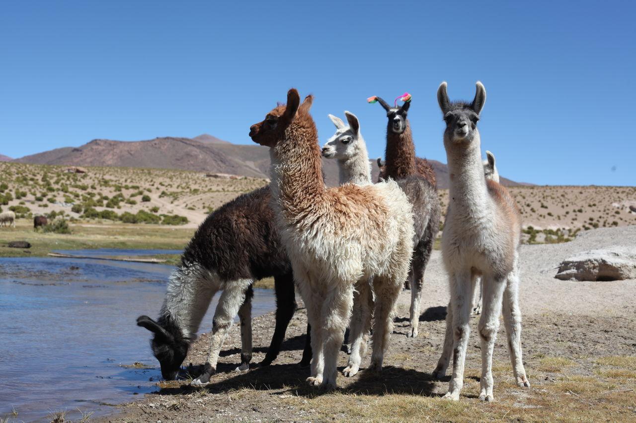 Beautiful stock photos of llama, Animal Themes, Blue, Clear Sky, Day