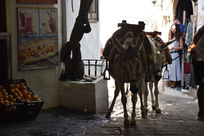 Animal Donkey Geece Greek Donkey Lindos Working Animal