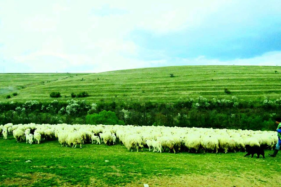 Agriculture Farm Field Landscape Rural Scene Sheep Nature Domestic Animals Large Group Of Animals Animal Themes Flock Of Sheep Outdoors Mammal Sheepdog Sheeps Eye4photography  Todayphotography From My Point Of View Close-up Moment Grass Fine Art Photography Spring Green Color Beauty In Nature