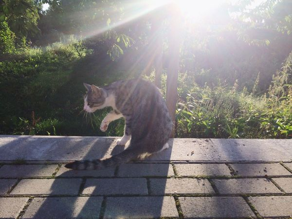 Tabby cat in the early morning light Domestic Cat One Animal Pets Animal Themes Sunlight Domestic Animals Feline Mammal Cat Day Outdoors No People Shadow Sitting Nature Tree Tabby Cat Morning Light