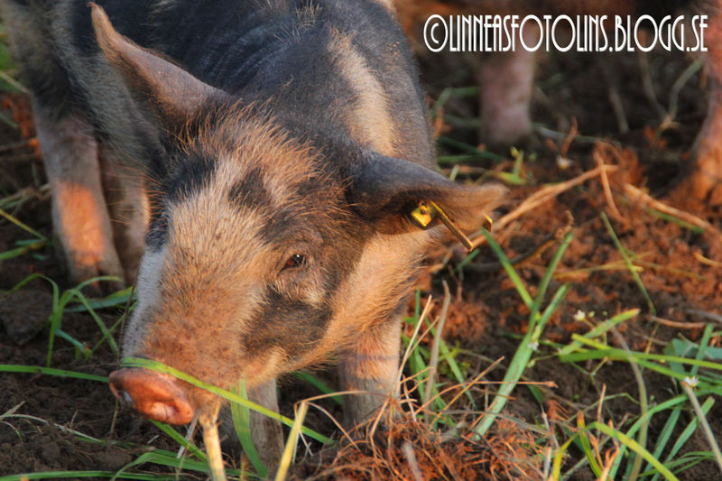 Pigs New Friends Life On The Ranch Life On A Farm check out https://linneasfotolins.blogg.se