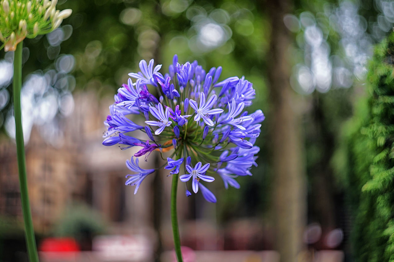 African Lily Agapanthoideae Agapanthus Agapanthus Africanus Beauty Beauty In Nature Bokeh Bokeh Photography Color Of Life Colorful Helios Helios 44-2 Lily Of The Nile Nature Purple Purple Flower Purple Flowers Sonyalpha TakeoverContrast