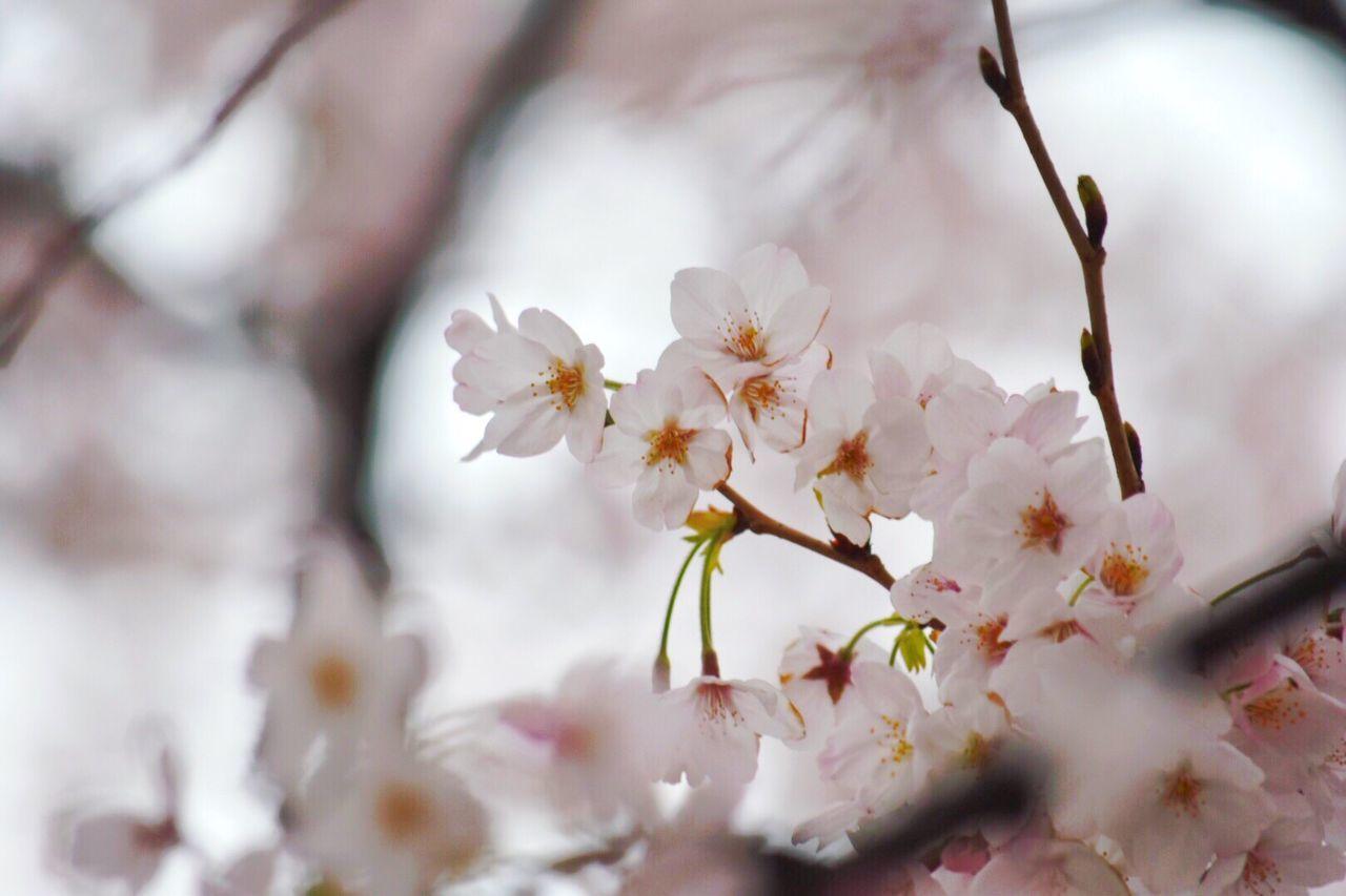 さくら Spring Sakura Cherry Blossoms Check This Out Flower Photography Japan Holiday April Tokyo, Japan Ebisu Springhassprung Springhascome Beautiful Beautiful Nature