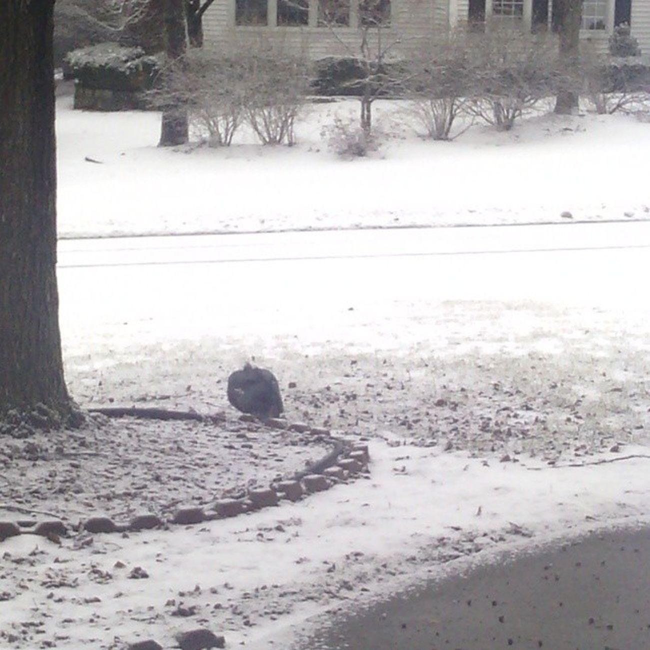 So theres a huge duck sleeping in my front yard? we thought it was a turkey at first and I got excited and took a picture but yanno... I still havent seen a wild turkey I guess... Wintervortex Ducky